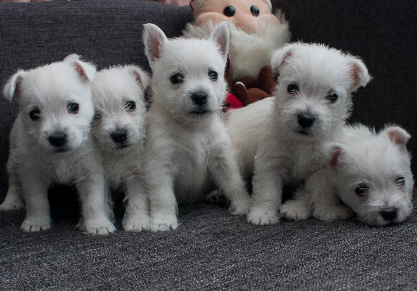 "West Highland White Terrier litter ""E"" 6.11.2018"
